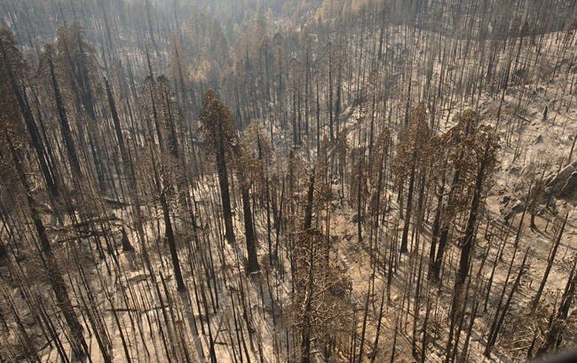 As of 2015, higher severity fires have killed unprecedented numbers of large giant sequoias. (NPS)