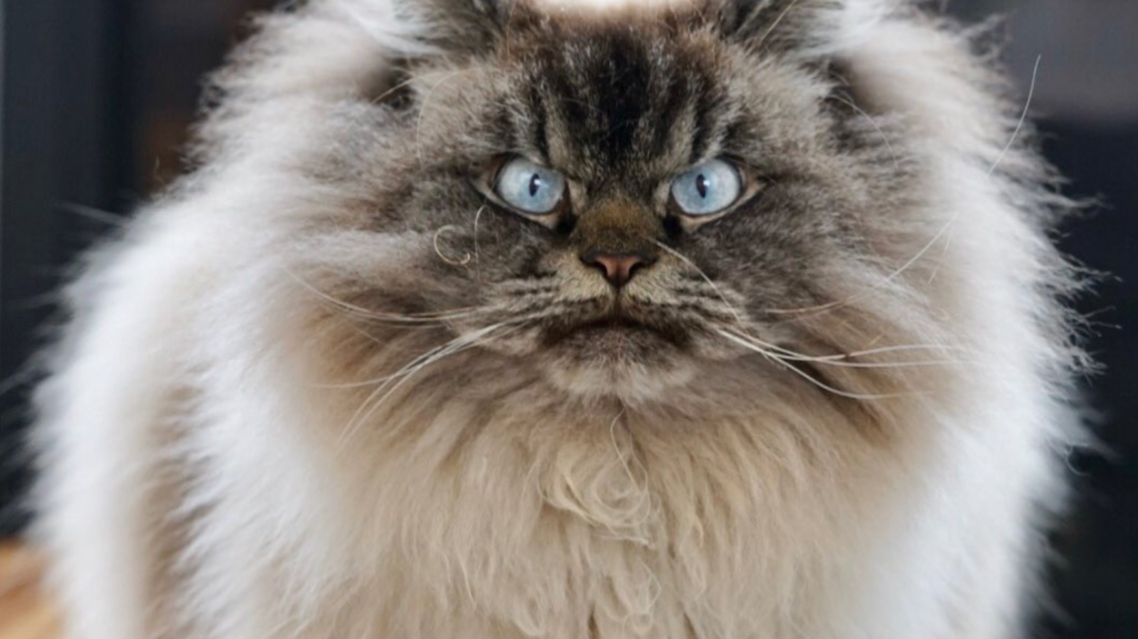 Grumpy cat, @MerlinRagdoll. (Instagram)