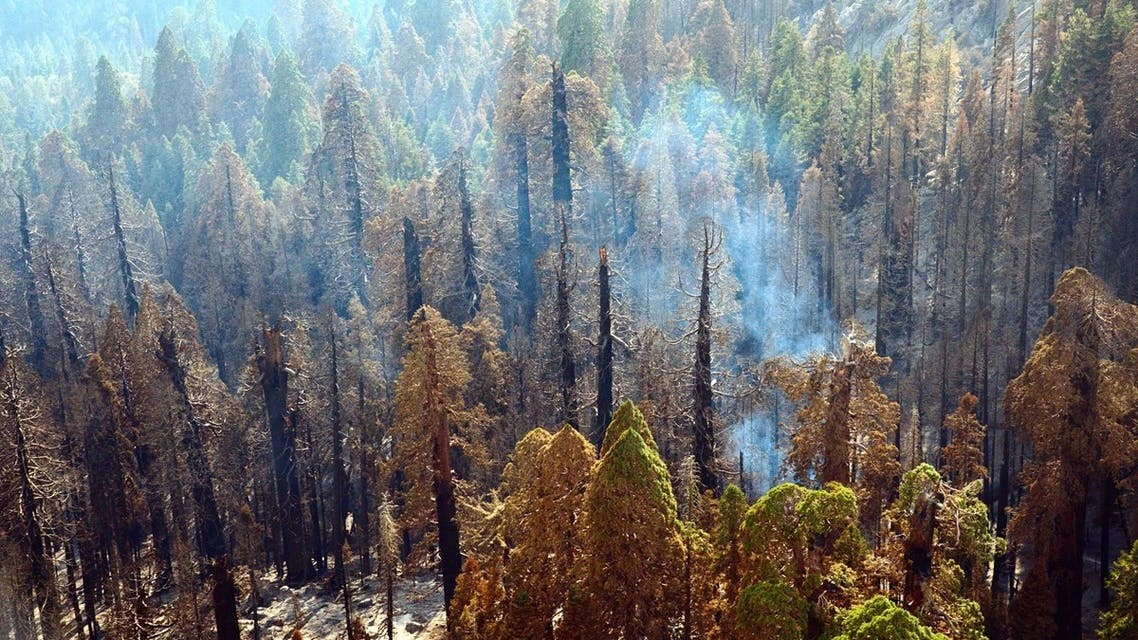 Giant sequoia trees have lived with fire for thousands of years. But as of 2015, higher severity fires have killed unprecedented numbers of large giant sequoias. (NPS)