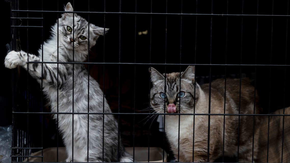 Cats Mia and Kesh, from left, rest at the Green Valley Community Church evacuation shelter on Thursday, Aug. 19, 2021, in Placerville, California, as the Caldor Fire continues burning. (AP)