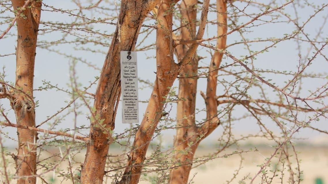 The Environment Agency - Abu Dhabi (EAD) has launched a project aimed at numbering and coding old, endangered trees, which have historical importance in their natural environments and habitats. (Supplied: Wam)