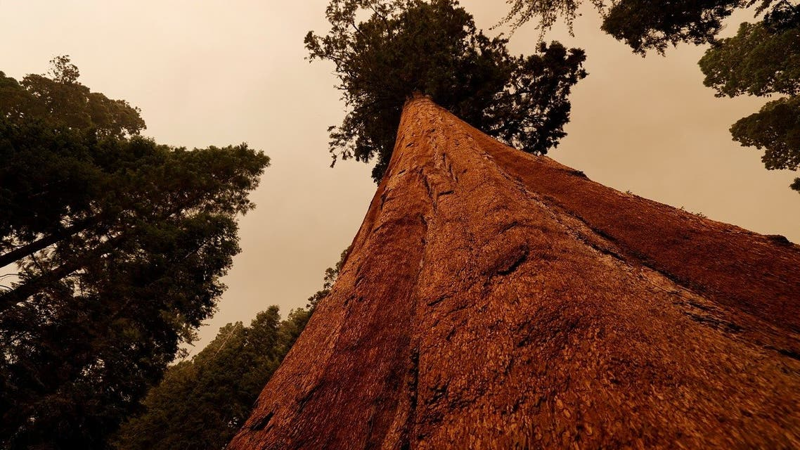 Sequoia trees are seen admist smokes in the Sequoia National Forest in California, U.S. September 17, 2021. (Reuters)