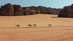 إبل تسير بين الجبال.. مشهد بديع شمال السعودية