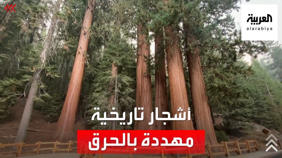 أكبر شجرة في العالم مهددة بسبب الحرائق في كاليفورنيا