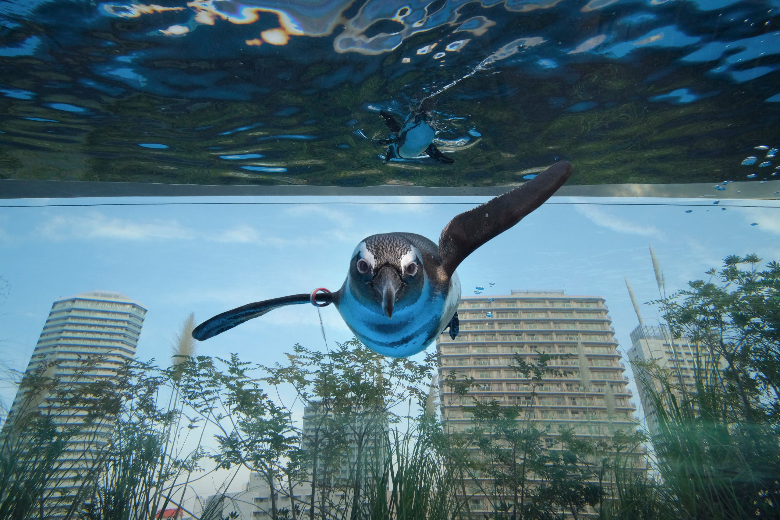 An African penguin swims in a large overhanging water tank called Penguin in the sky at Sunshine Aquarium in Tokyo on December 11, 2020. (File photo: AFP)