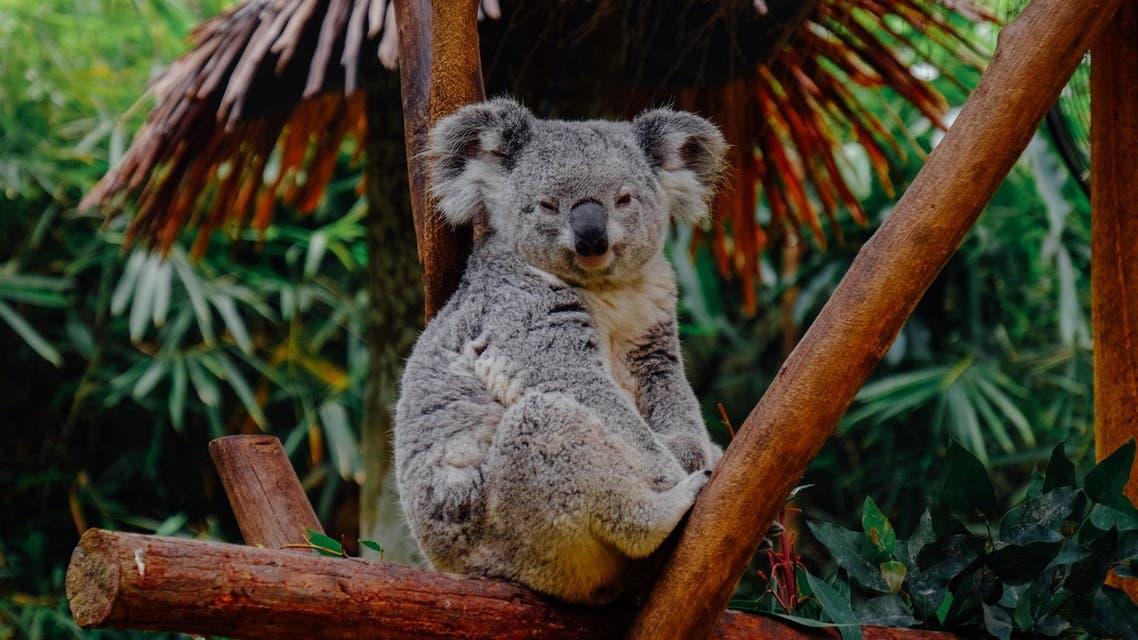 Koala sitting on a tree branch. (Unsplash, Ellicia)
