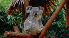 Number of Koalas in Australia declined 30 percent in three years: Report