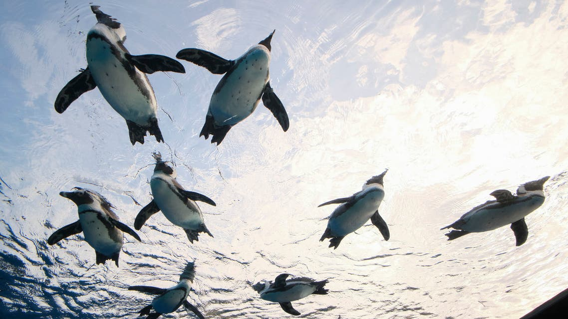 African penguins swim in a large overhanging water tank called Penguin in the sky at Sunshine Aquarium in Tokyo on December 11, 2020. (File photo: AFP)