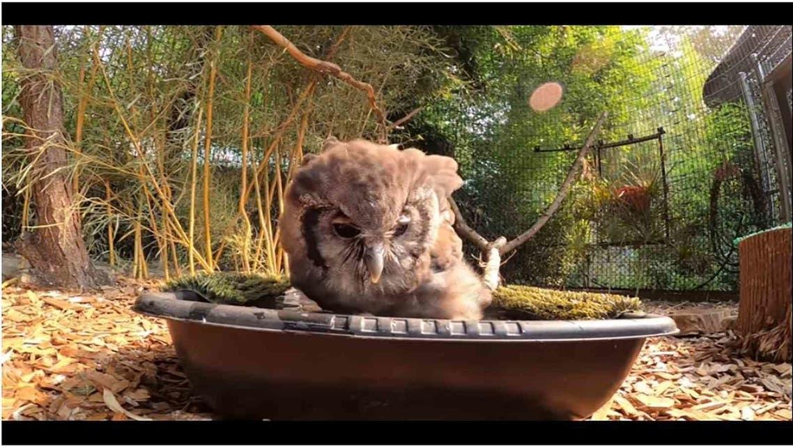 Owl taking Bath
