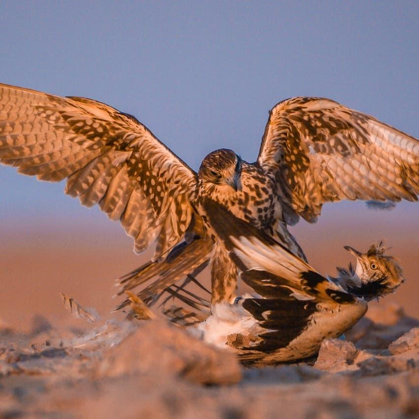 صور ساحرة.. شاهد طائر القمري المهاجر في السعودية