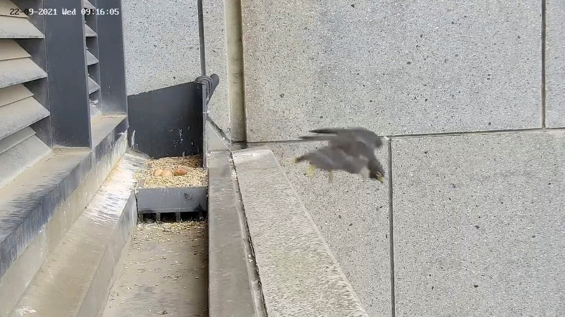 A falcon flies away and leaves its nest with eggs unattended after experiencing tremors from a magnitude 6.0 earthquake that struck near Melbourne. (Reuters)