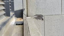 Melbourne quake rocks squawking mother falcon out of nest