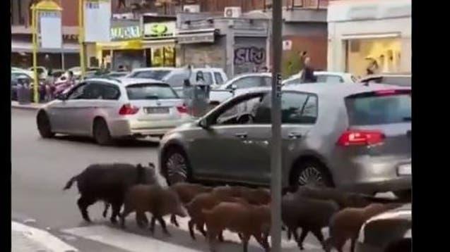 لن تصدق عينيك.. خنازير تغزو شوارع روما