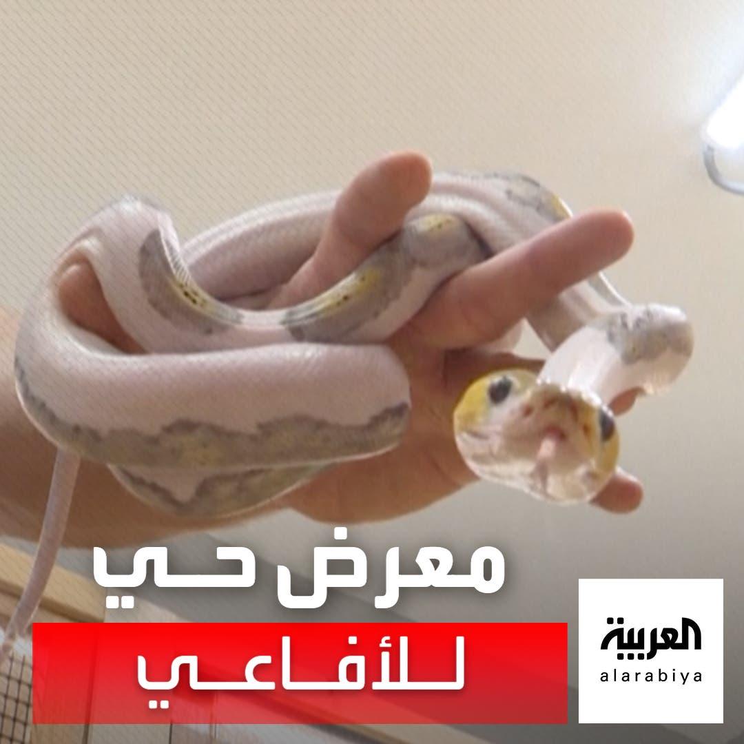 """يعتبرها """"معرضا فنيا حيا"""".. سعودي يجمع الأفاعي ويهجّنها بطريقة استثنائية"""