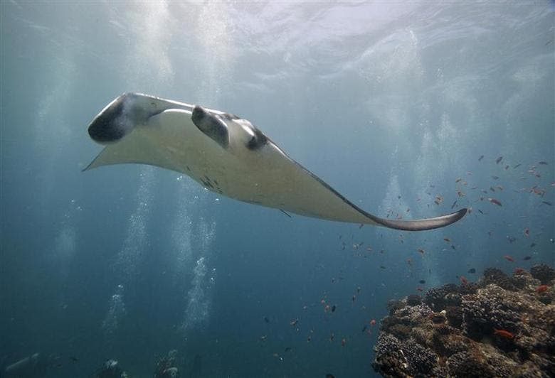 A graceful manta ray swims through the waters in Maldives. (Image: Reuters)