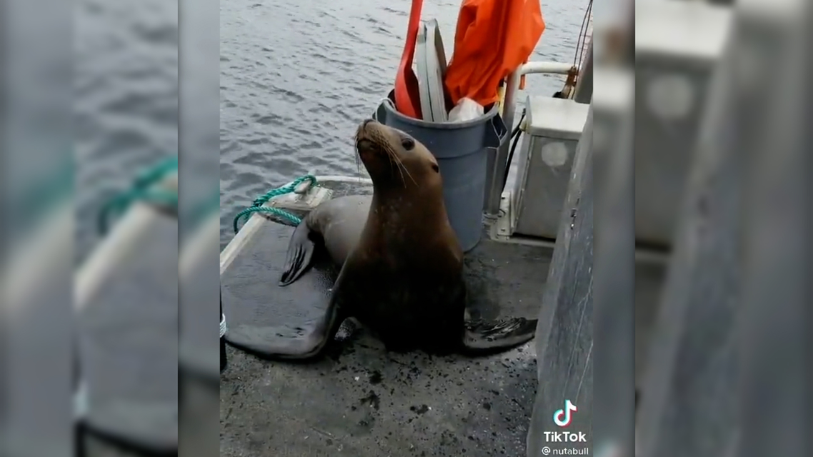 Seal climbs onto boat to save itself from potential killer whale attack. (Screengrab)