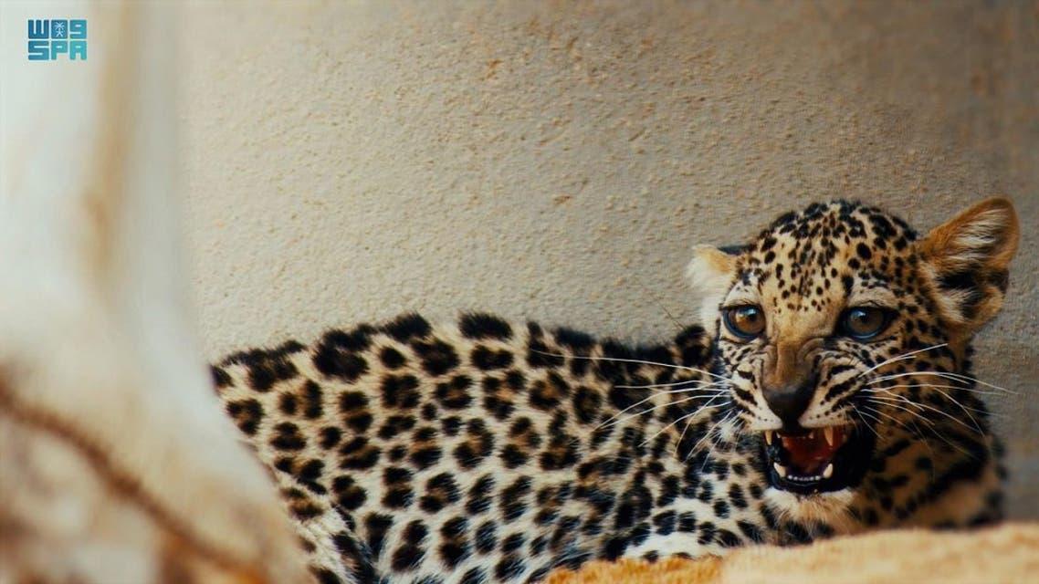 Saudi Arabia: Birth of female Arab leopard in step to preserve endangered species