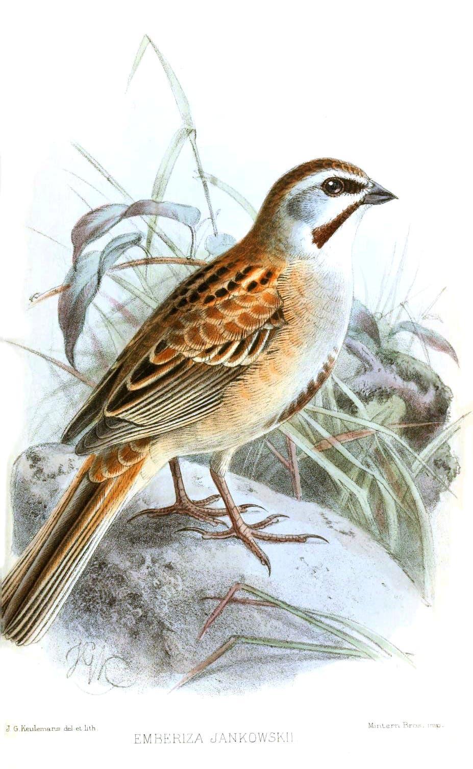 رسم تخيّلي للطائر الذي اكتشفه يانكوفسكي