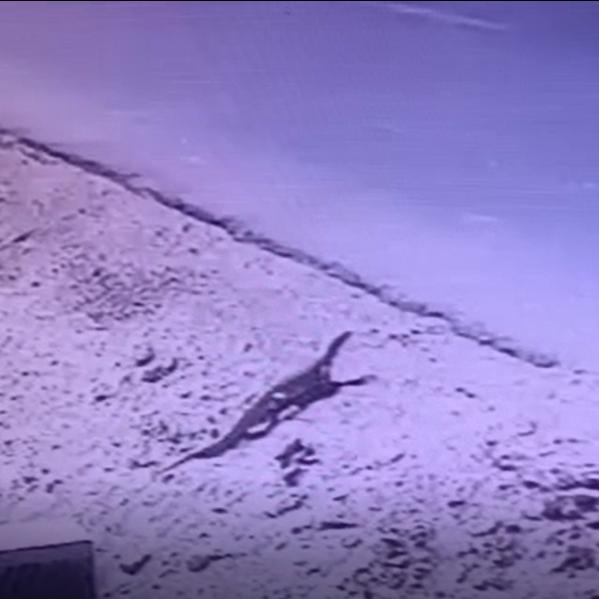 فيديو لحيوان غريب يشبه التمساح يظهر في مصر ويثير رعباً
