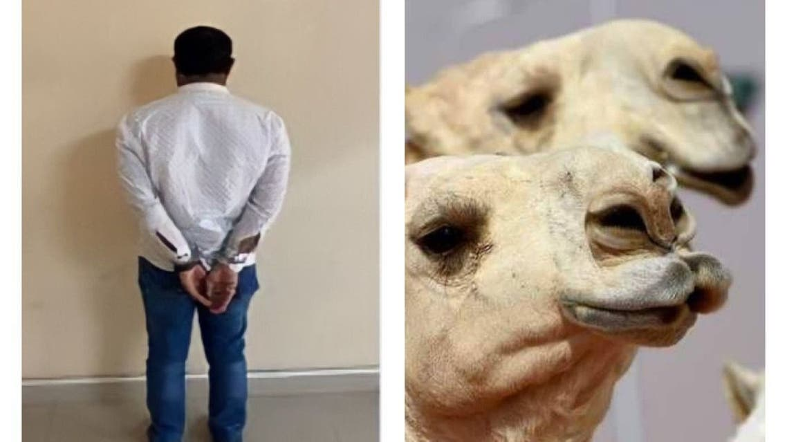 السعودية بيطري من عيادة تجميل للإبل، إلى السجن