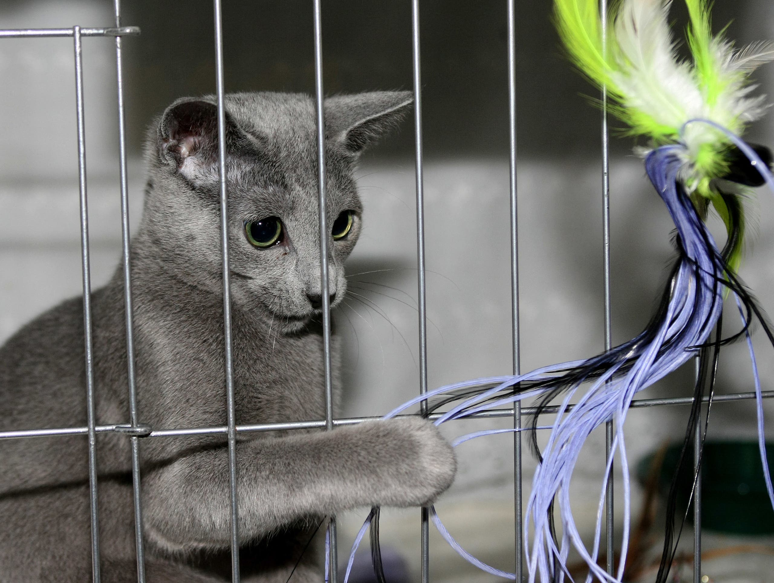 Leonid, a Russian Blue, plays with a toy through the cage during at a press preview for the Cat Fanciers' Association show 10 October 2007 at Madison Square Garden in New York. (AFP)