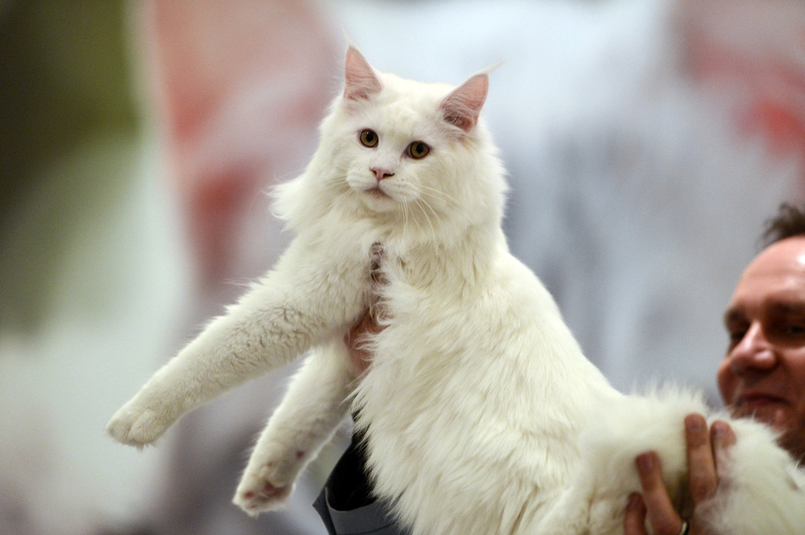 A ragamuffin cat is held by a jury member at the World Cat show in Athens on March 29, 2015. (AFP)