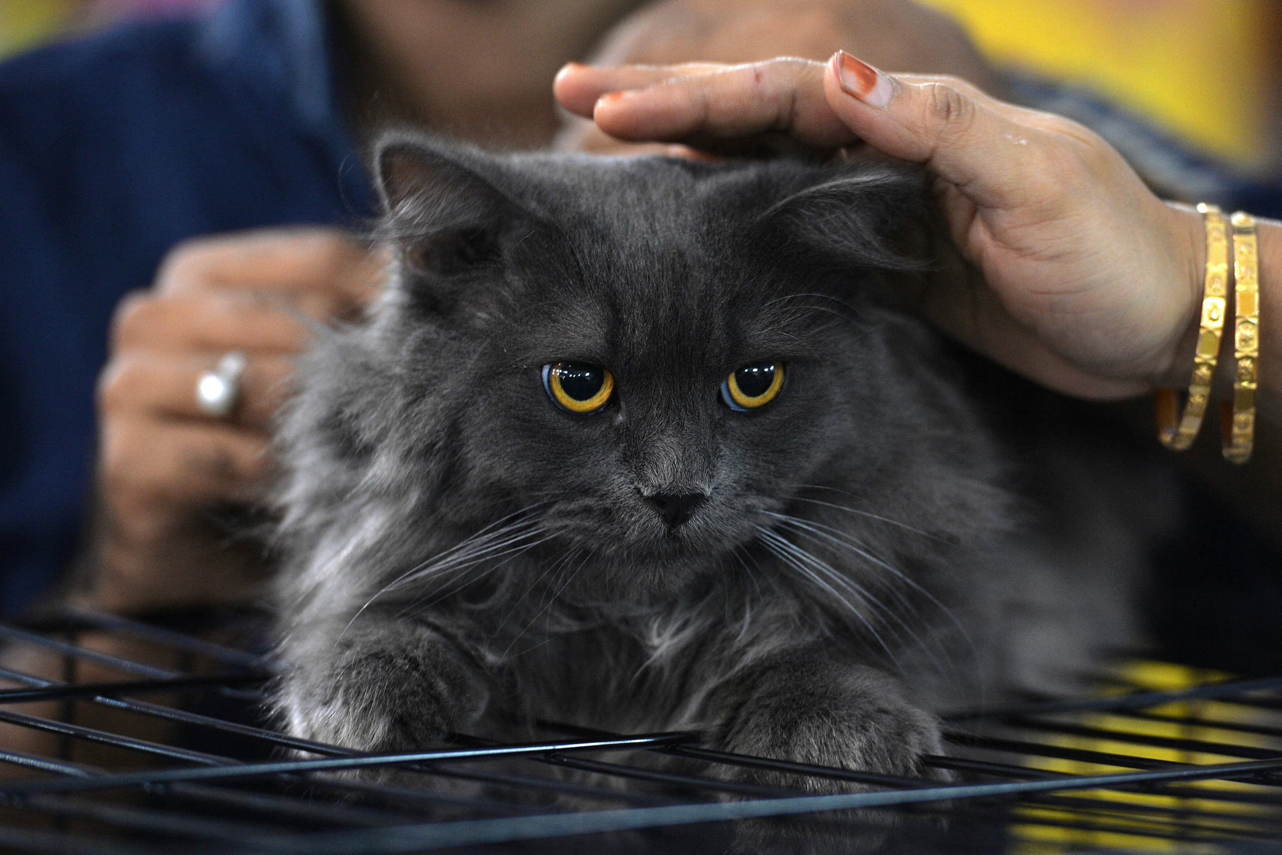 Visitors pat Sheru, a Siberian cat, during the 8th International Cat Show organised by the World Cat Federation in Bangalore on July 30, 2017. (AFP)