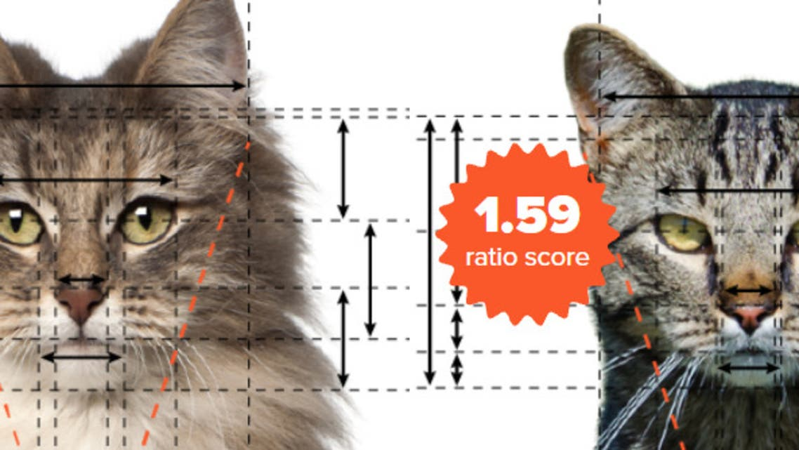 Using the rules of the golden ratio, a new study has revealed the cat breeds that are scientifically proven to be the most beautiful. (Screengrab)