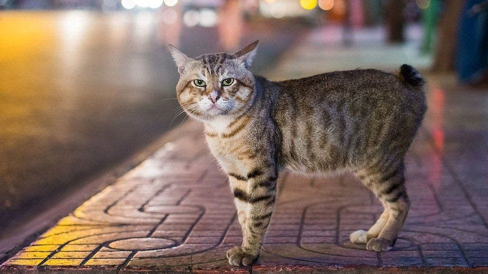 A manx cat. (Getty Images)