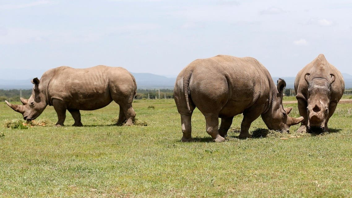 Najin (C) and her daughter Fatou (R), the last two northern white rhino females, graze alongside Ndauwo (L), a southern white rhino near their enclosure at the Ol Pejeta Conservancy in Laikipia National Park, Kenya. (Reuters)
