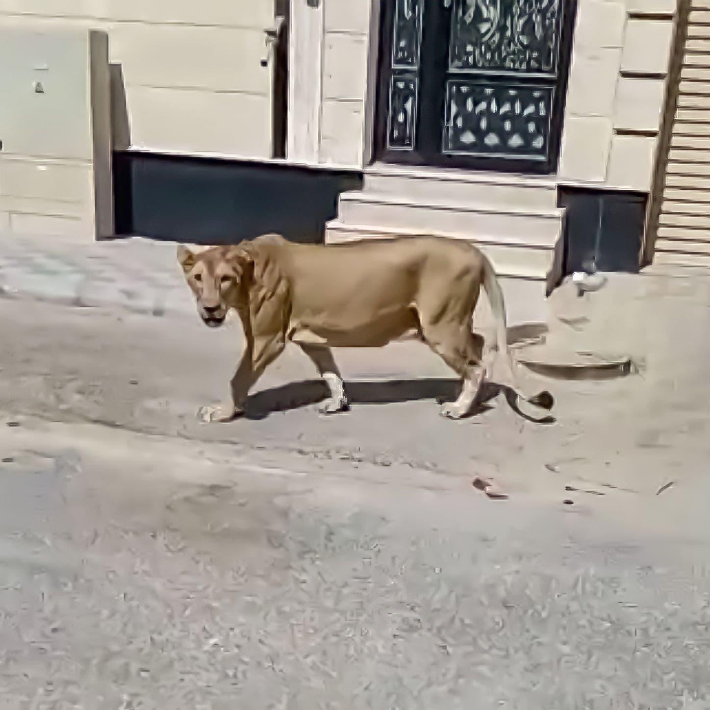 فيديو.. أسد طليق يسرح بين الأحياء في الخبر شرق السعودية