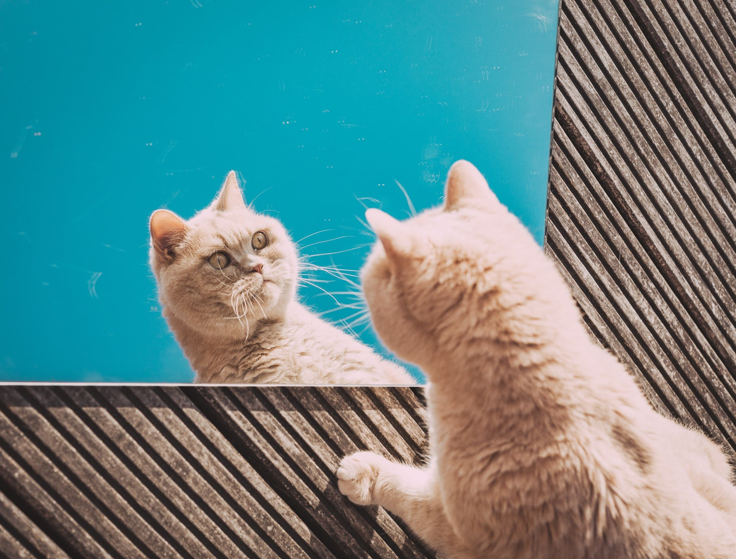 A cat staring at its reflection in a mirror. (Unsplash, Eduard Delputte)