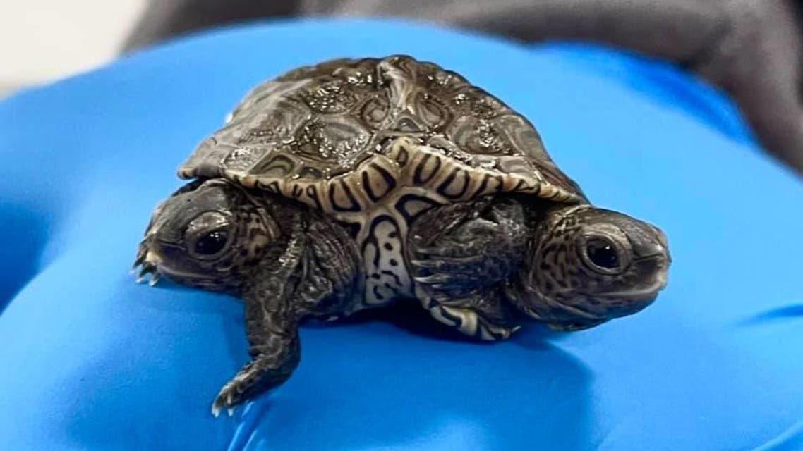 A rare two-headed diamondback terrapin turtle. (Facebook/CapeWildlife)