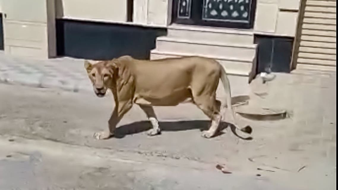 The lion was spotted roaming the streets of al-Khobar in eastern Saudi Arabia. (National Wildlife Center)