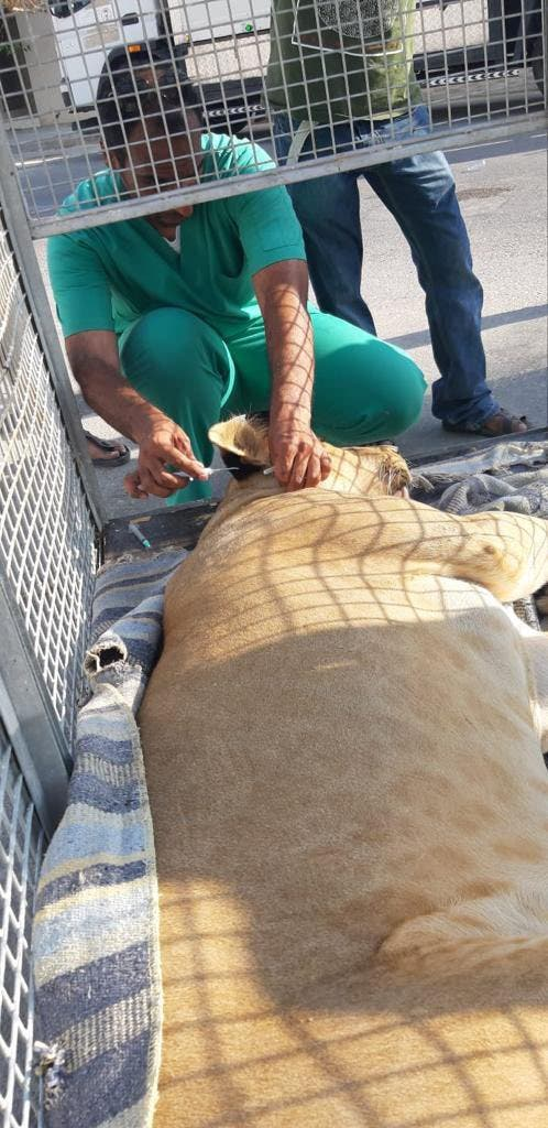 The lion was safely tranquilized and taken to a shelter, the National Wildlife Center said. (National Wildlife Center)