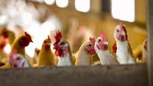 Dutch order poultry indoors after avian flu outbreak