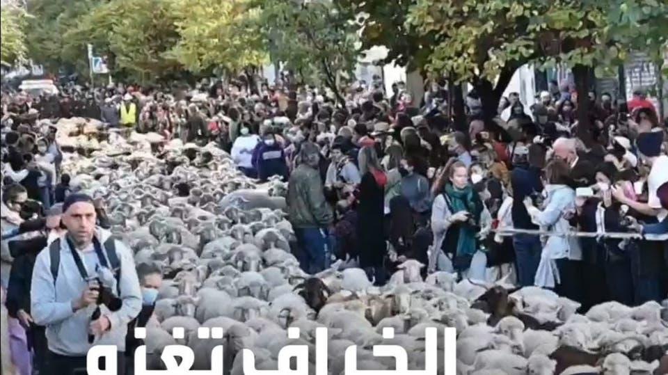 المئات من الخراف والماعز تجوب شوارع العاصمة الإسبانية