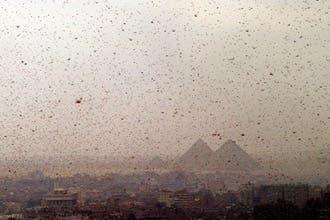 الجراد الأحمر يهاجم القاهرة.. وبرودة الجو تنقذها