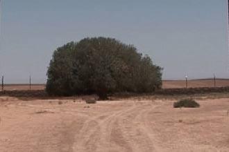 """""""العربية"""" تعرض شجرة معمرة تقول روايات إن الرسول استظل بها"""
