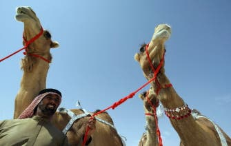 UAE man pays $6.45 million for three camels