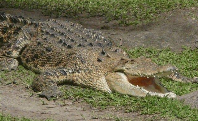 Crocodile roams Gaza sewer network